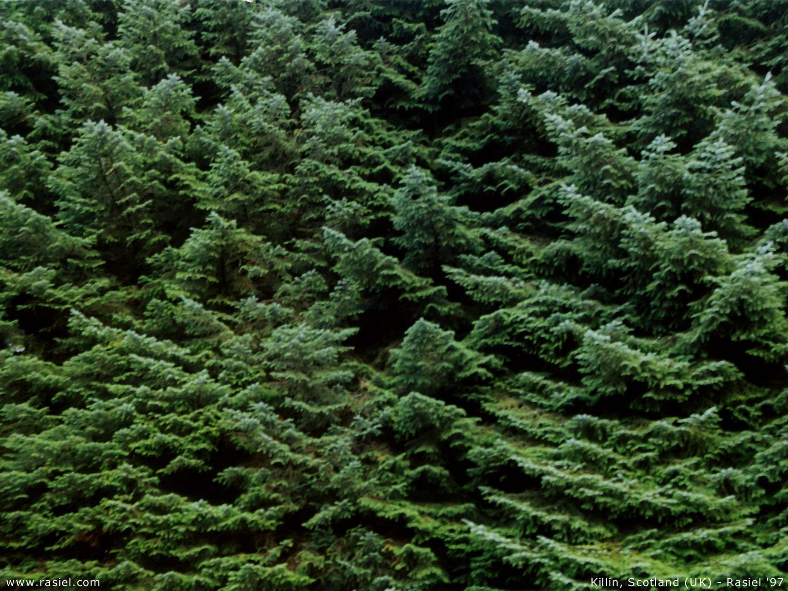 Evergreens1